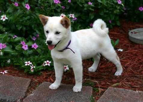 Shiba Inu Puppies For Sale in Michigan