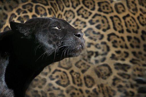 Leopard, Black Panther, Zoo, Feline