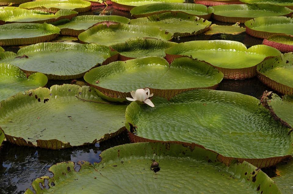 Plantas estanque hermosas plantas de lechuga de agua for Agua verde estanque