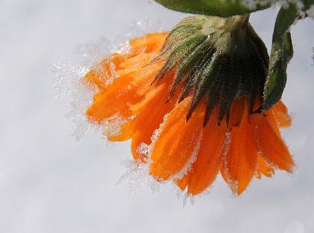 Marigold, Blossom, Bloom, Gardening