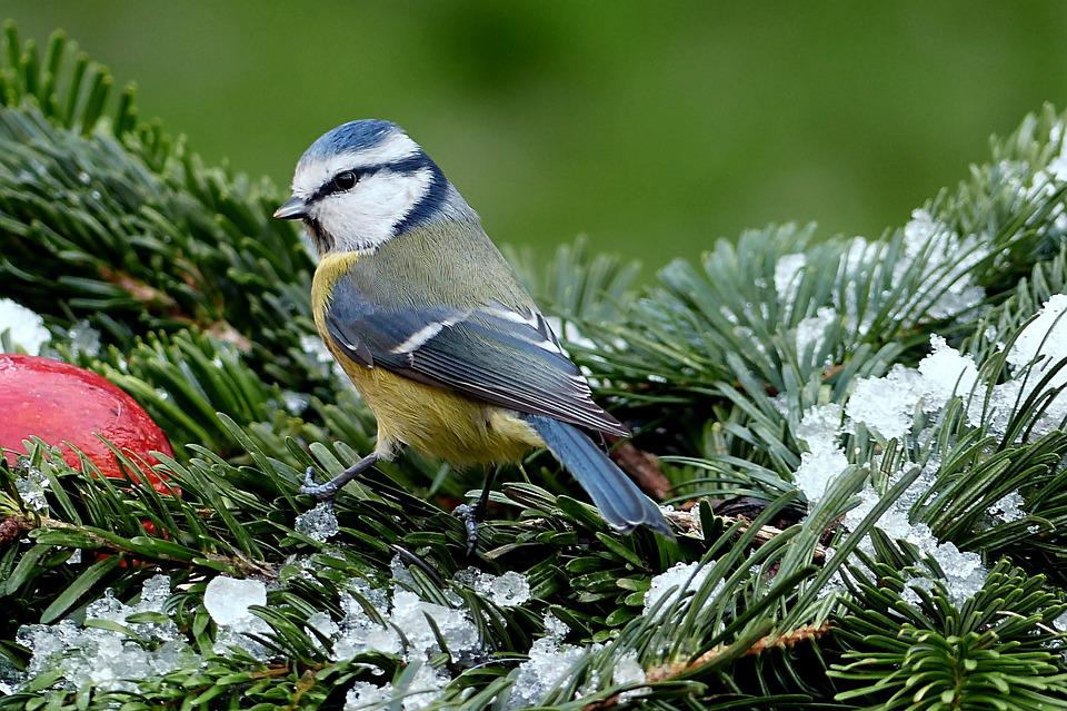 蝴蝶,蓝雀,cyanistes翅鸢,鸟,冬天,山雀,觅食用百度买花园犬图片