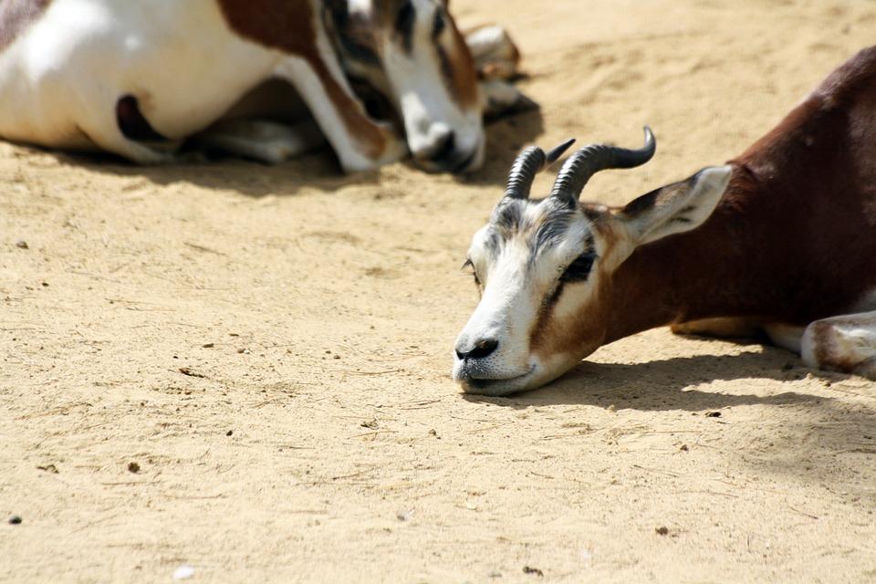 download-free-blonde-gazelle-video