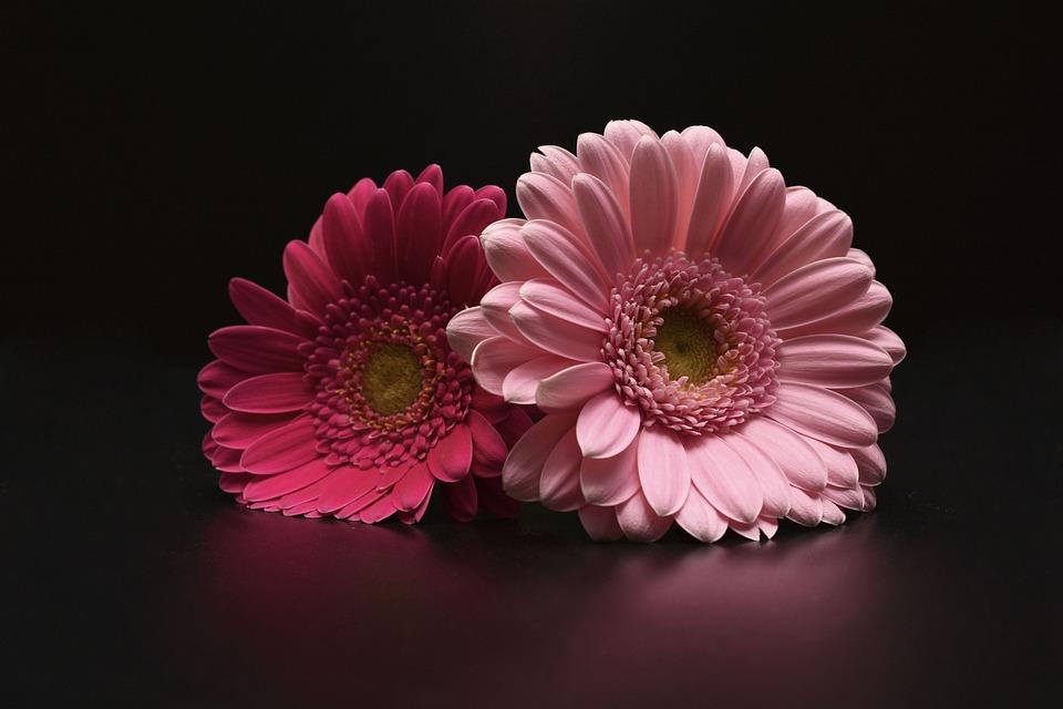 kostenloses foto gerbera bl ten blumen pink rosa kostenloses bild auf pixabay 1150176. Black Bedroom Furniture Sets. Home Design Ideas