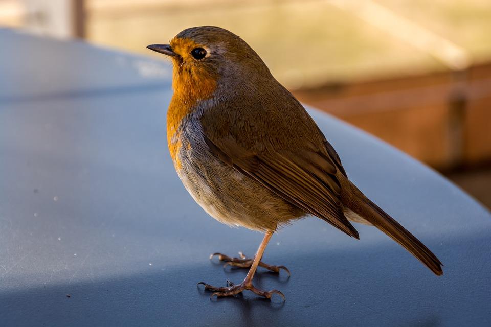 foto gratis robin uccello natura londra red immagine gratis su pixabay 1150294. Black Bedroom Furniture Sets. Home Design Ideas