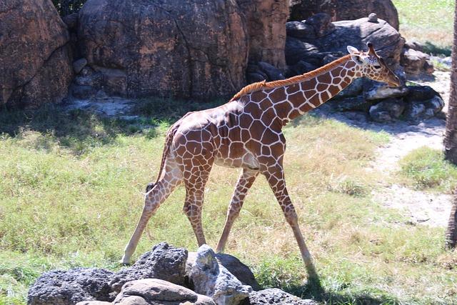 Foto gratis: Jirafas, Animales Bebés, Animales - Imagen
