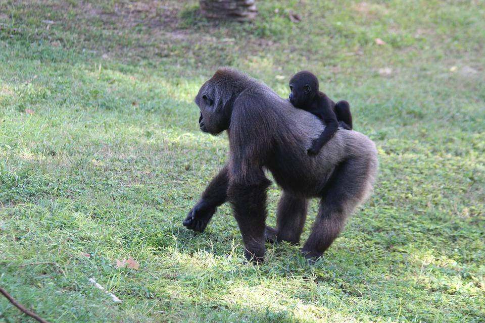 Fotos de gorilas y monos 81