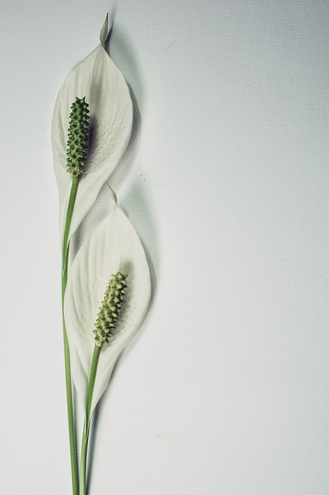 Peace Lily, Flower, Plant, Lily, Bloom, Botany