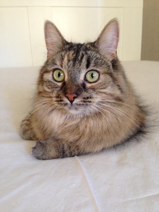photo gratuite chat animaux de compagnie image gratuite sur pixabay 1151262. Black Bedroom Furniture Sets. Home Design Ideas