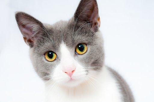 猫, ペット, 動物, 家畜化された, 毛皮, 肖像画, ネコ, ふわふわ, 猫