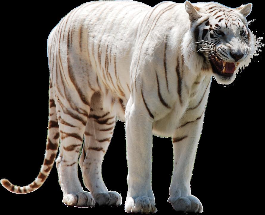 wild animal white - photo #15