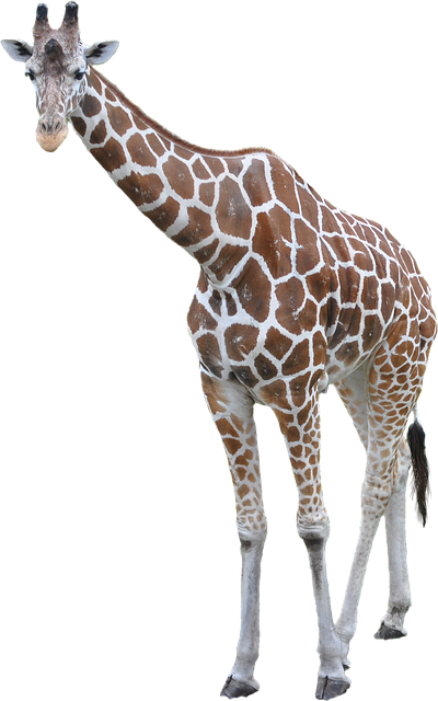 giraffe animal african  u00b7 free photo on pixabay cat face clipart black and white cat face clip art black