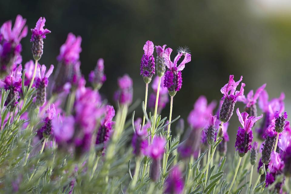 Lavendar, Field, Green, Closeup, Blooming, France