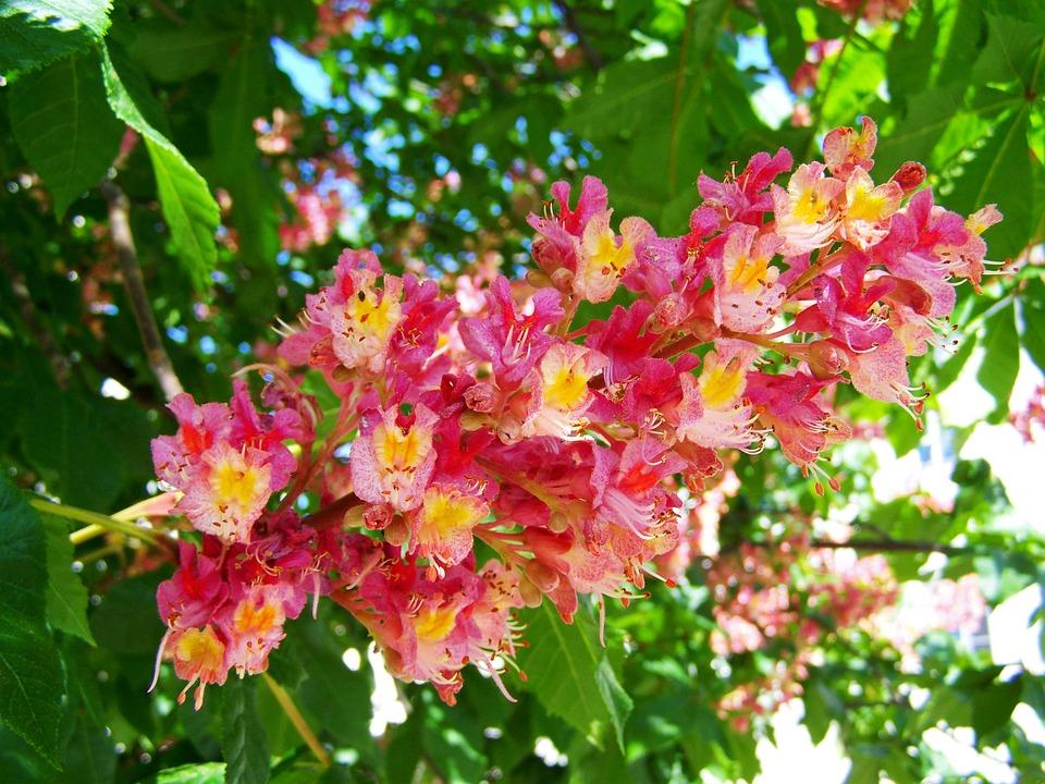 Horse chestnut flower pink free photo on pixabay horse chestnut flower pink flower spring mightylinksfo