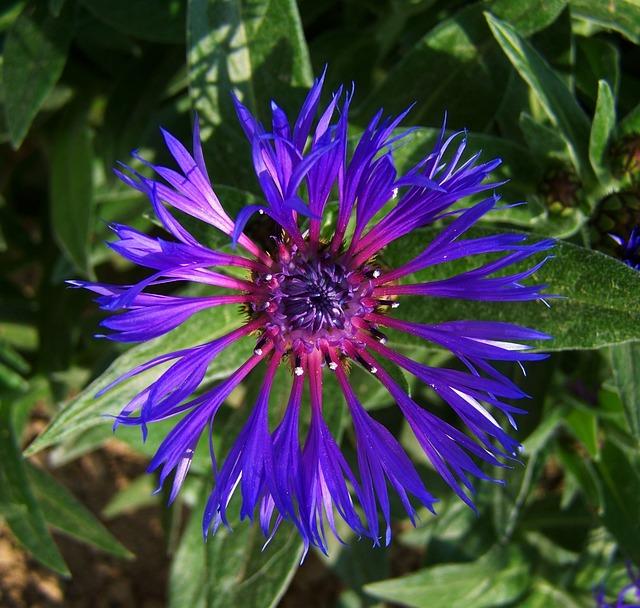 Photo Gratuite: Bleuet, Fleur Bleue