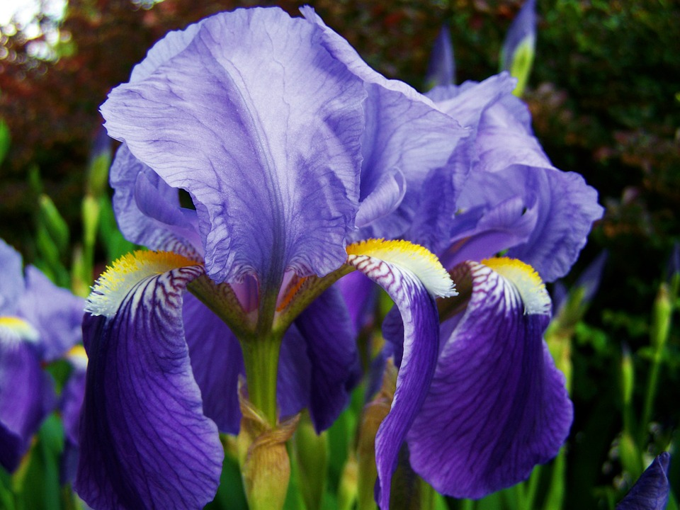 free photo iris fleur de lis free image on pixabay 1154271. Black Bedroom Furniture Sets. Home Design Ideas