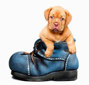 Puppy, Hond, Cute, Huisdier, Dierlijke