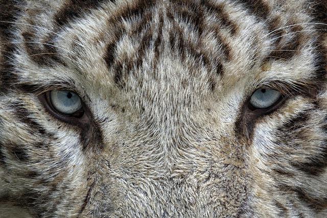 Foto Gratis: Ojos, Tigre Blanco, Tigre, Animales