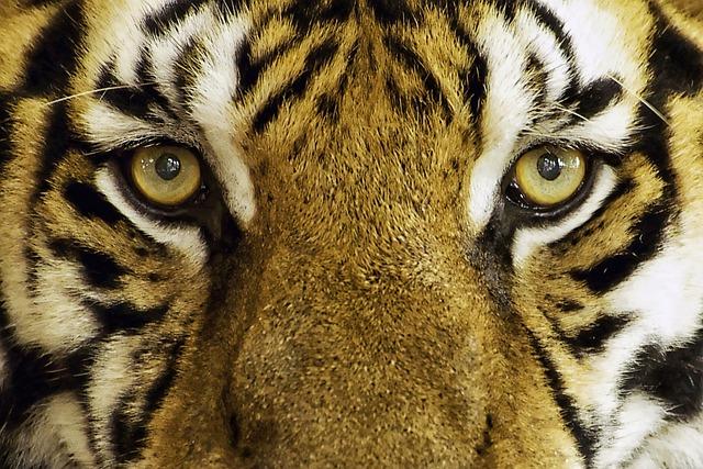 free photo tiger feline wild wild animal free image