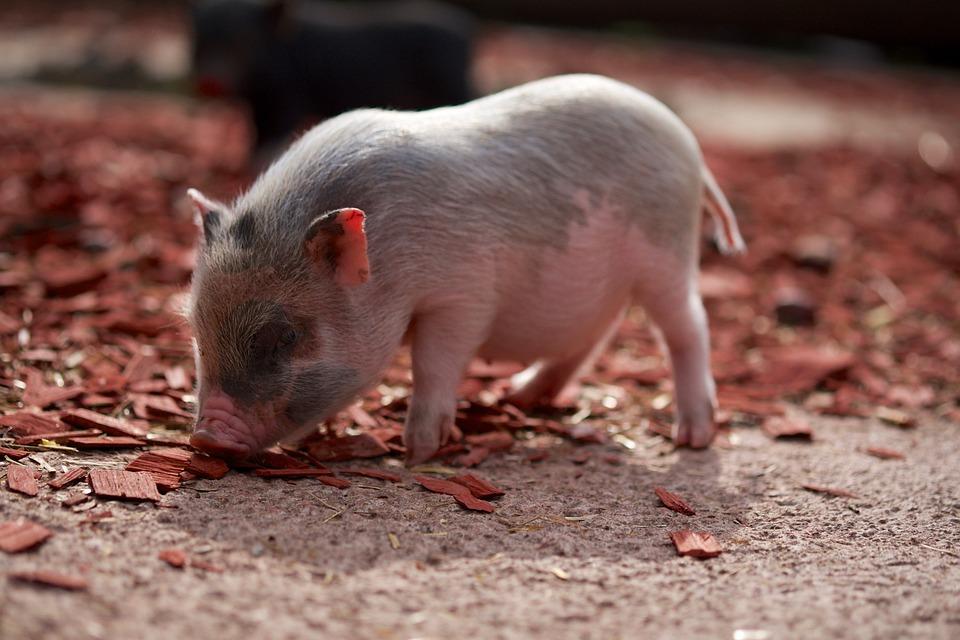 100+ Free Happy Pig & Pig Images - Pixabay