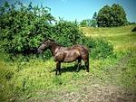 horse, estonia
