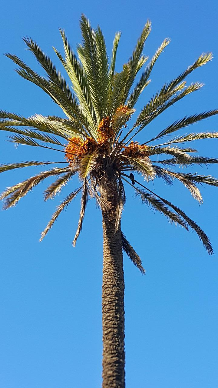 date palm tree How to trim a palm tree there is a common misconception when it comes to palm trees many think regularly trimming palms will help them grow when in fact just the opposite is true.