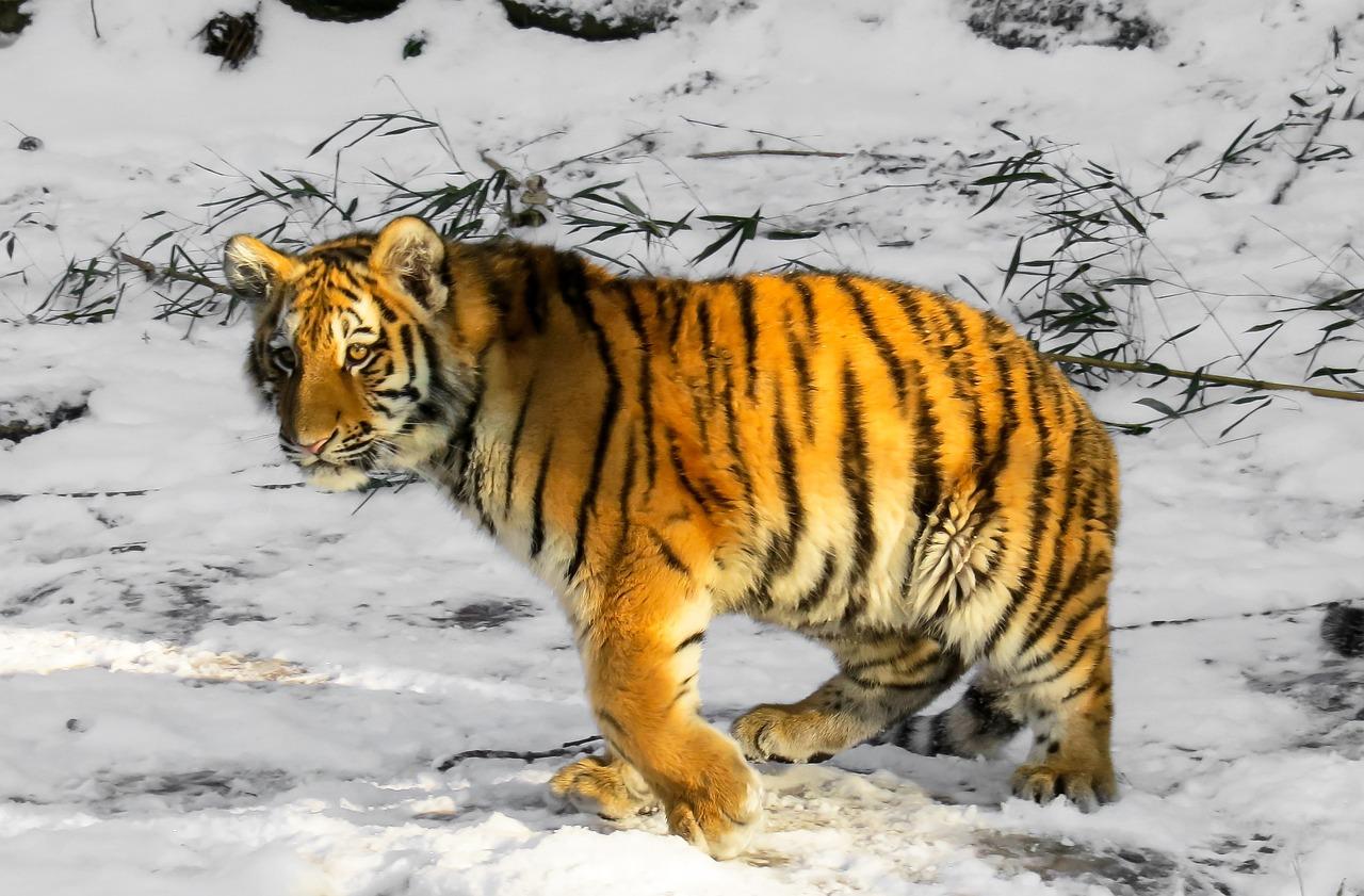 Tigers running