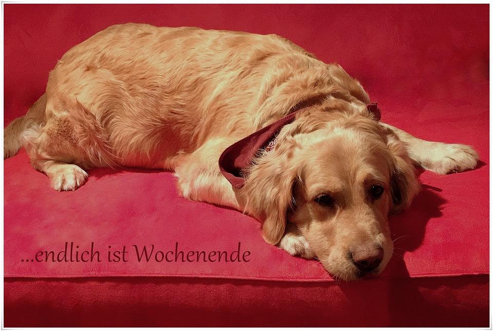 hund haustier golden retriever kostenloses foto auf pixabay. Black Bedroom Furniture Sets. Home Design Ideas