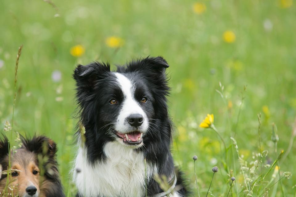 Free Photo Border Collie Sheltie Dog Animal Free