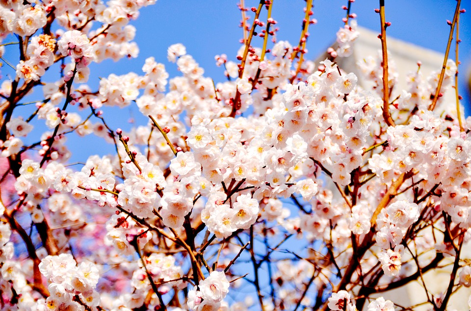 Free photo: Winter, Flowers, Plum Blossoms - Free Image on Pixabay ...