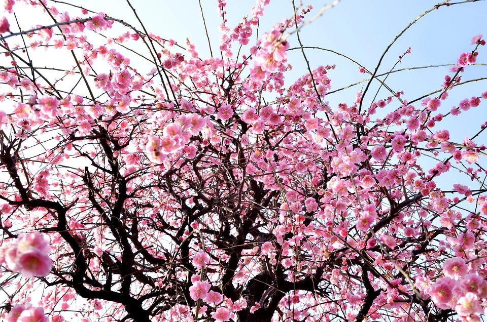 winter bloemen plum blossoms gratis foto op pixabay. Black Bedroom Furniture Sets. Home Design Ideas