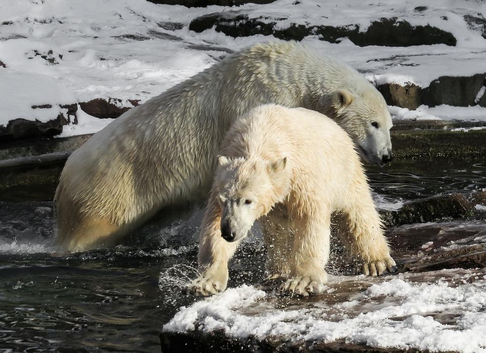 Oso Polar, Tiergarten, Nuremberg, Animales Jóvenes