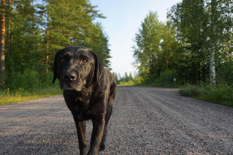 Image result for 犬 Labradors 歩く