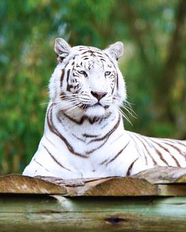 300+ White Tiger Pictures for Free Download - Pixabay - Pixabay