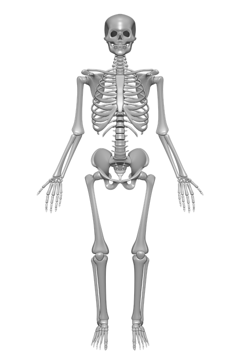human, skeleton - free images on pixabay, Skeleton