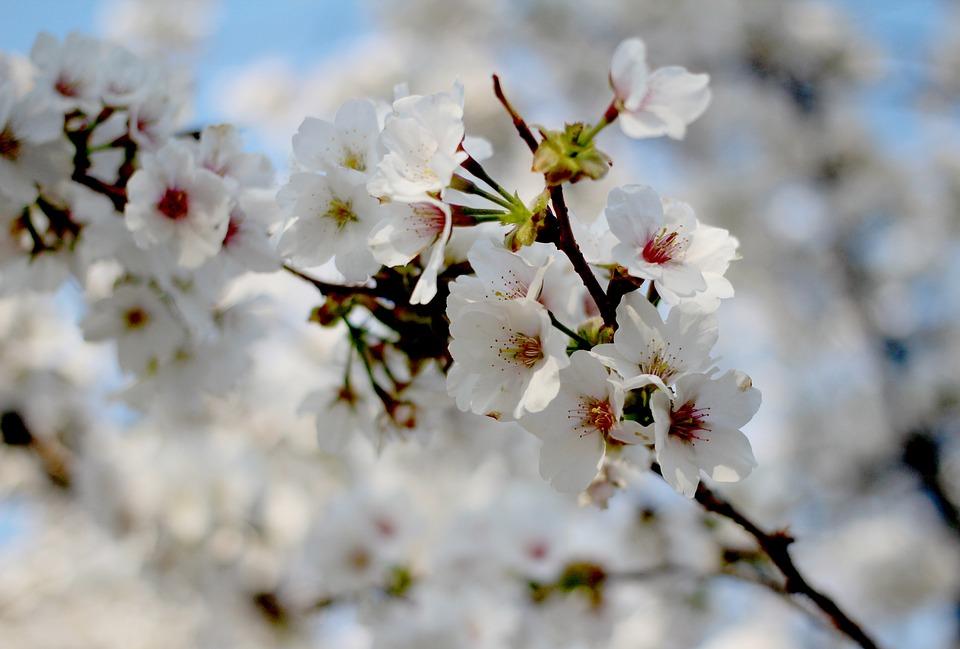 Foto gratis primavera fiori di ciliegio immagine for Fiori di primavera