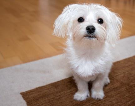 Dog, Young Dog, Maltese, White, Small