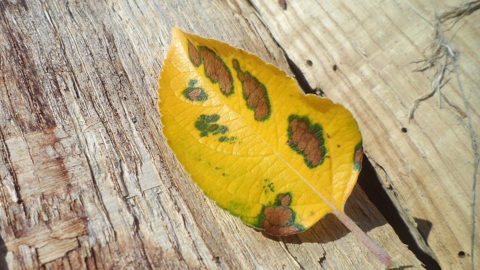 Leaf, Autumn, Autumn Leaves, Yellow, Apple Tree