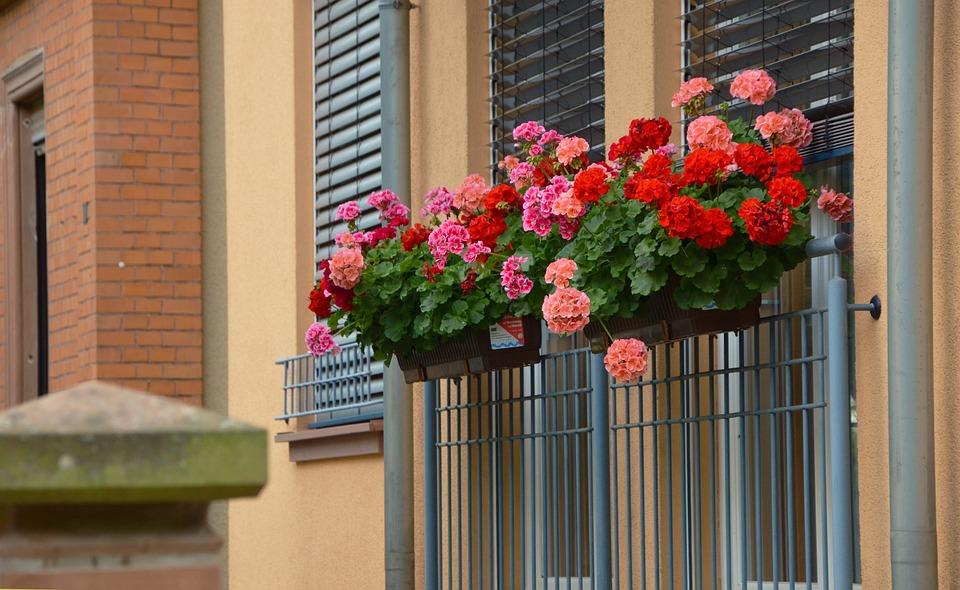 Free photo balcony plants geranium free image on pixabay 1159382 - Care geraniums flourishing balcony porch ...