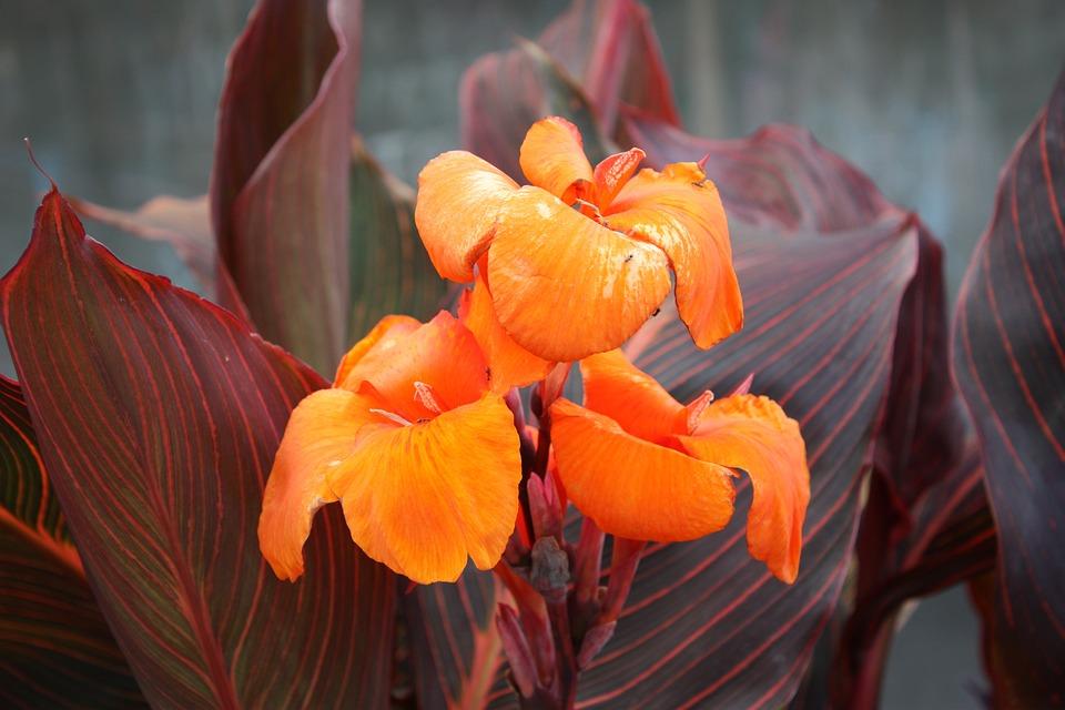 Canna Hybride Fleur Petales Photo Gratuite Sur Pixabay