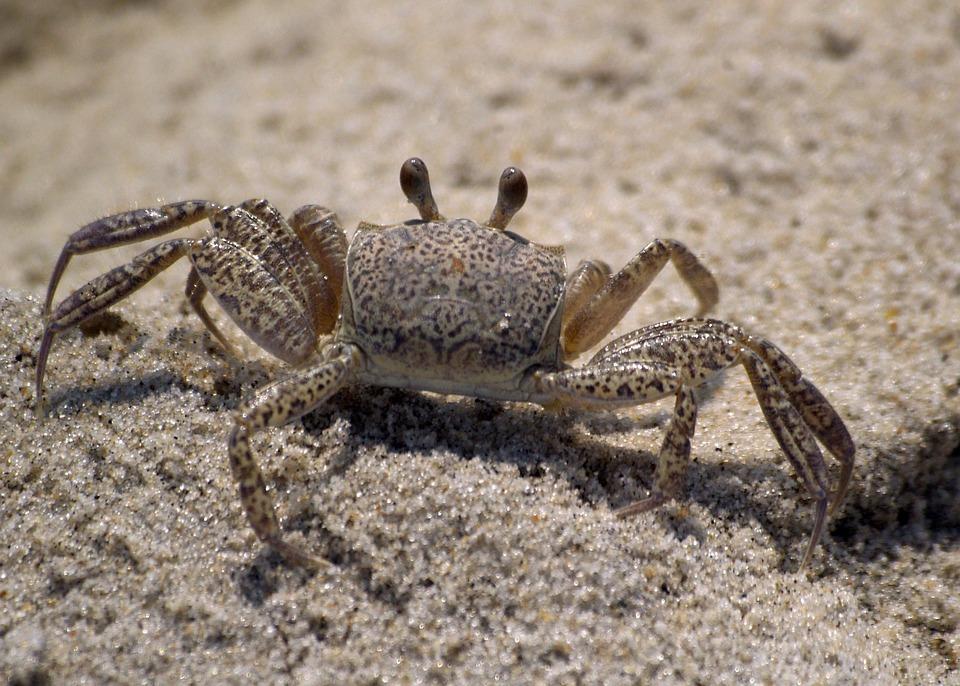 kepiting pantai