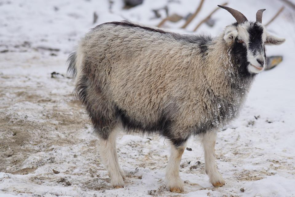 ヤギ, カシミヤヤギ, ヒマラヤ山脈, 細かい下地, 動物