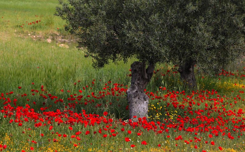 Photo gratuite: Arbre, Fleurs, Coquelicots, Rouge - Image ...