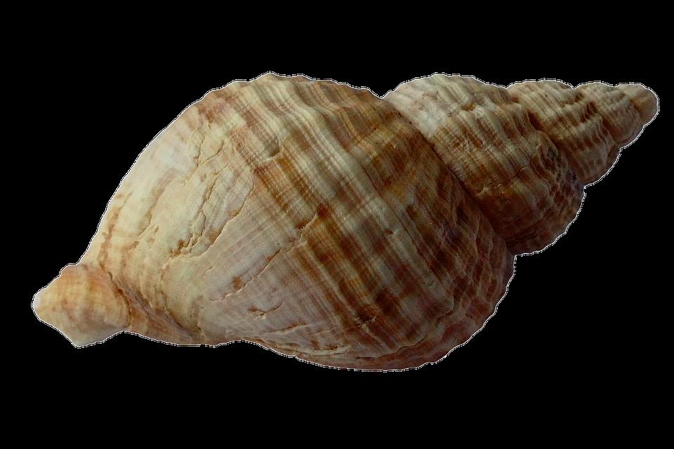 Https Pixabay Com En Sea Shell Clam Ocean Sea Shells 1162757