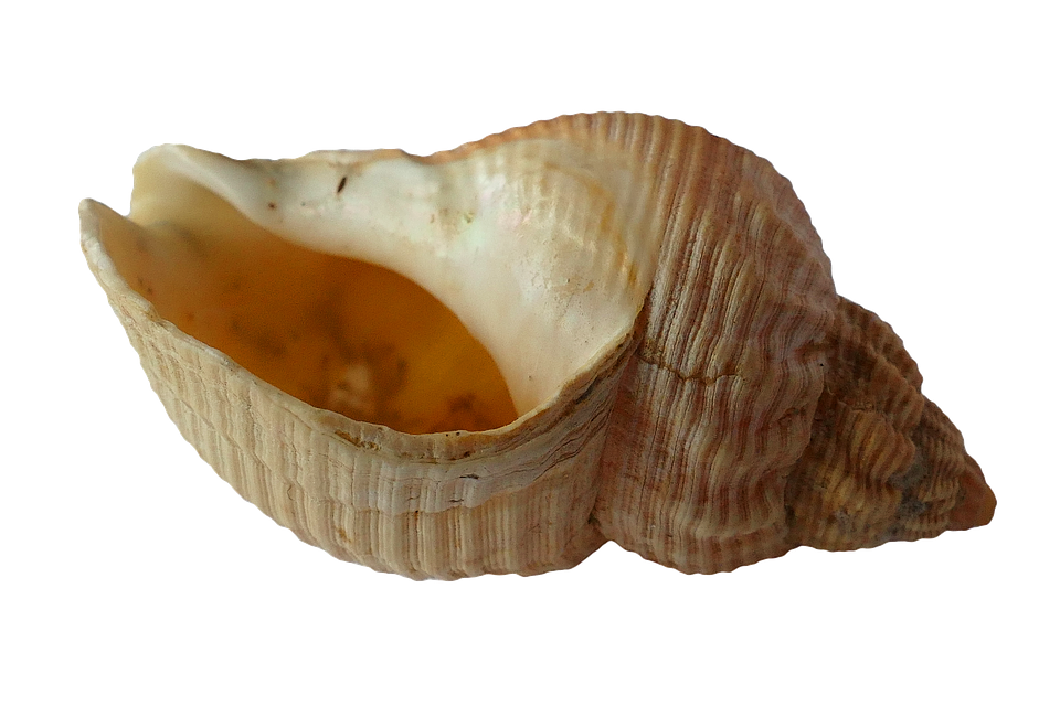 Free photo Sea Shell Clam Ocean Sea Shells Free Image on