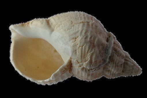 Sea, Shell, Clam, Ocean, Sea Shells