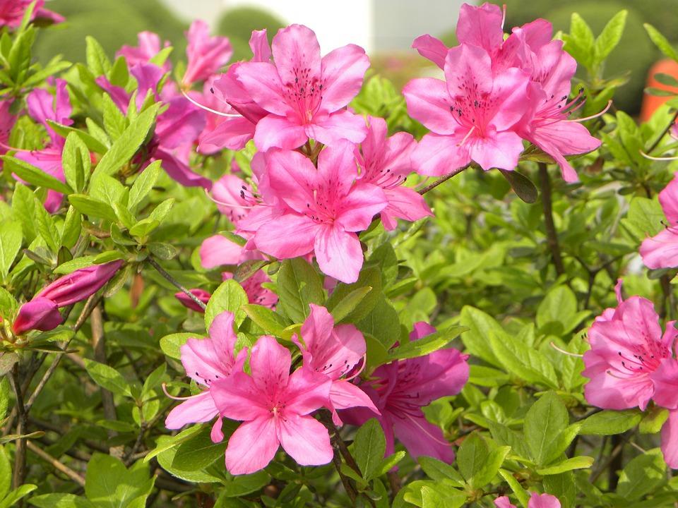 9a358e06 Azaléia Flores - Foto gratuita no Pixabay