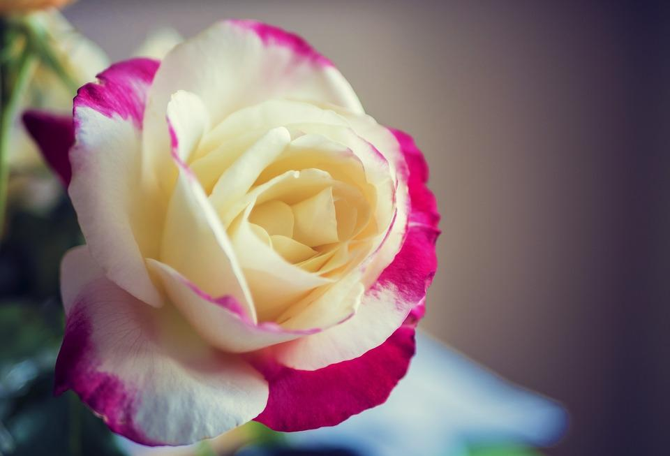 Rose macro red free photo on pixabay rose macro red yellow nature flower floral petal mightylinksfo
