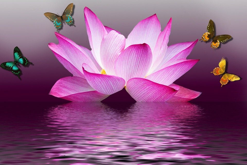 Butterfly lotus flower free image on pixabay butterfly lotus flower summer lake nature pink mightylinksfo