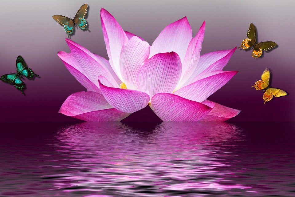 lotus, flower  free illustrations on pixabay, Natural flower