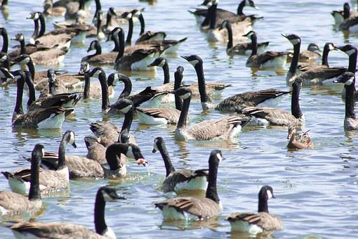 Canadian Geese, Fowl, Rural, Wild